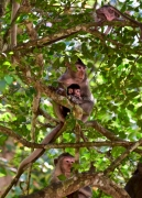 Angkor Monkeys